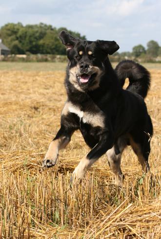 Zodd The Tibetan Mastiff