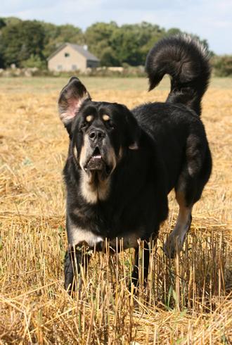 Zodd, the TIBETAN MASTIFF